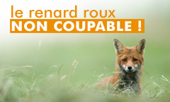 titre : le renard roux, non coupable !